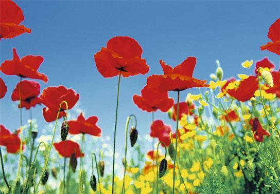 Poster para pared - Poppy field