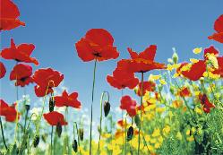Poster para pared - Poppy field  Marcos y Cuadros