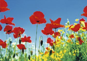 Poster para pared - Poppy field  Enmarcado de cuadros