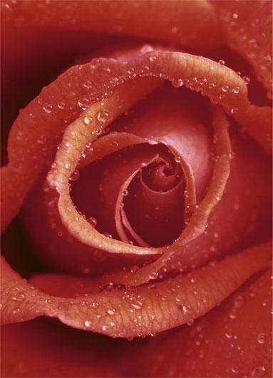 Poster para pared - Rose