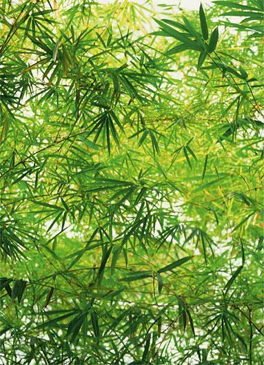Poster para pared - Bamboo