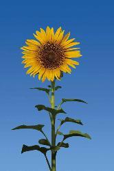 Poster para pared - Sun flower Enmarcado de cuadros