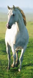 Poster para pared -White horse Enmarcado de cuadros