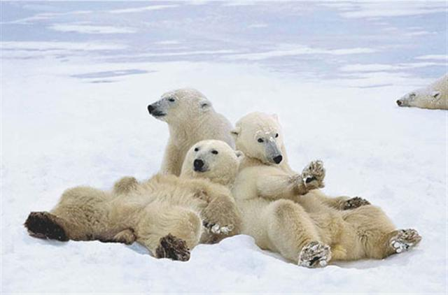 Poster - Polar bear play time