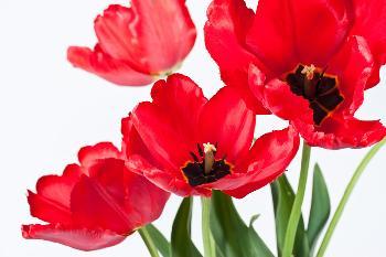 Tulipanes rojos Marcos y Cuadros