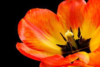Tulipan naranja Marcos y Cuadros