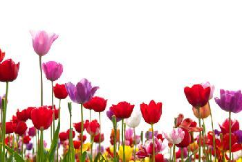 Tulipanes multicolor Enmarcado de laminas